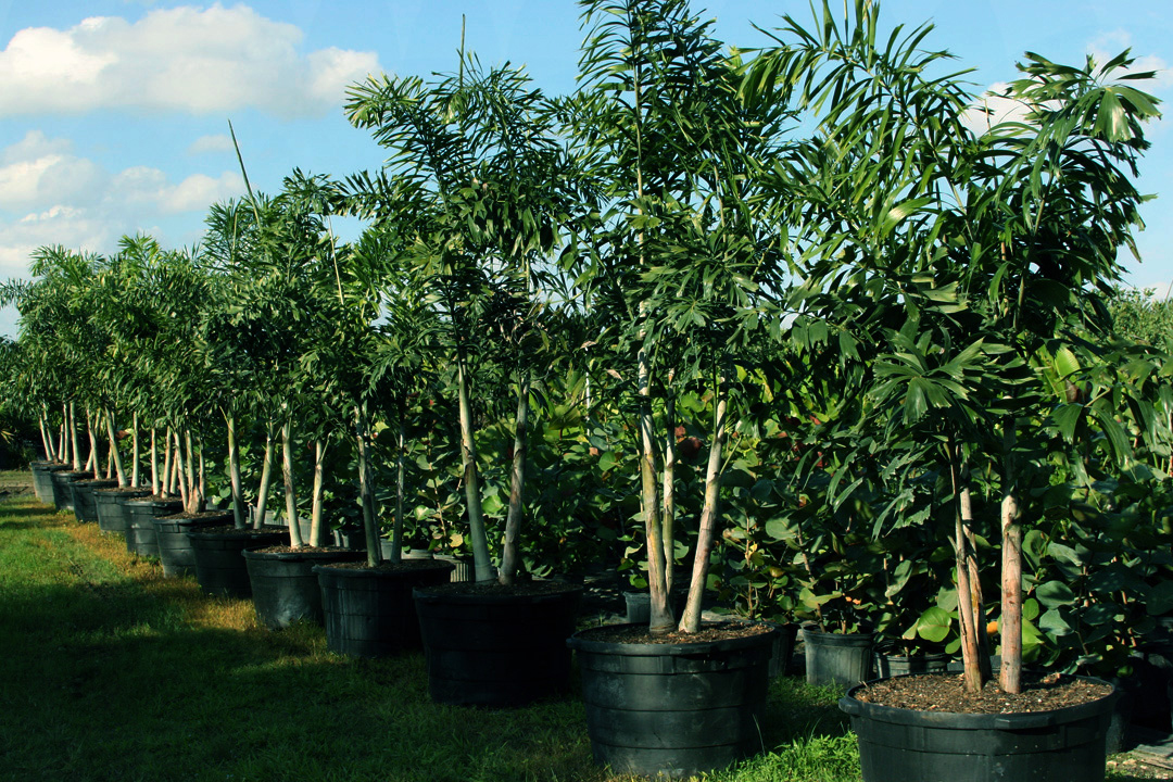 Ornamental Shrubs And Tree Services Almond Whole Nursery Homestead South Florida Fl Keys Miami Palms Trees Woody Landscape Plants Certified