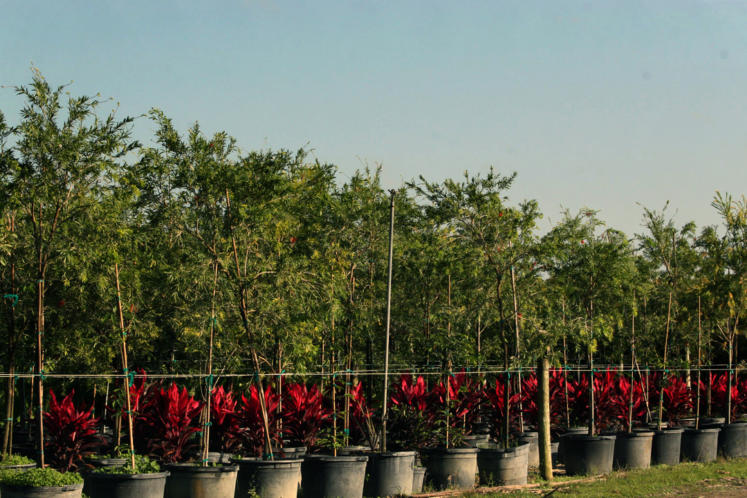 Ornamental Shrubs And Tree Services Almond Whole Nursery